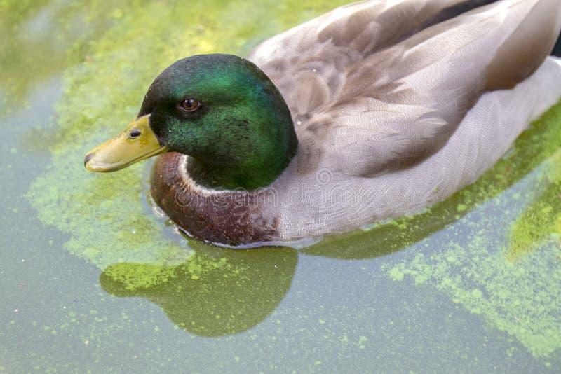 Pato que flota en el agua imagen de archivo