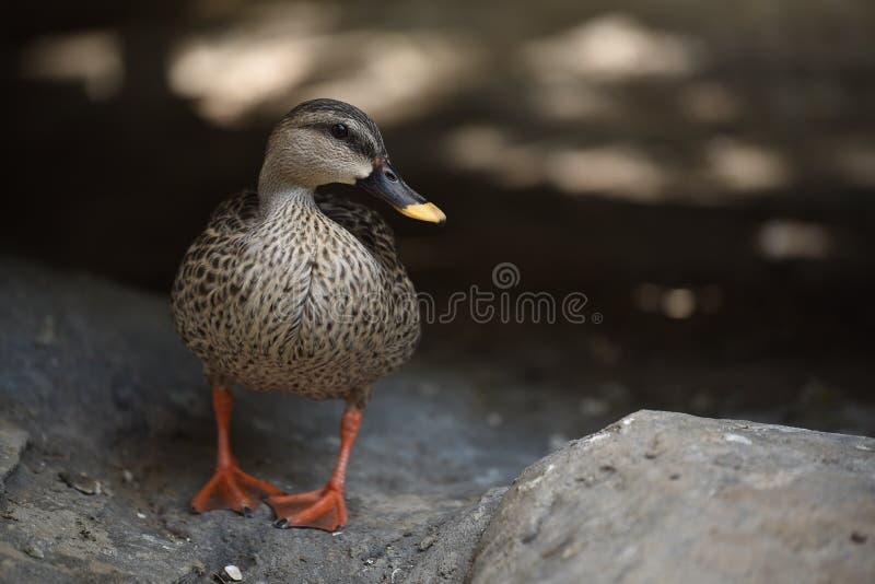 Pato que se coloca en la comida que espera de la tierra para foto de archivo libre de regalías
