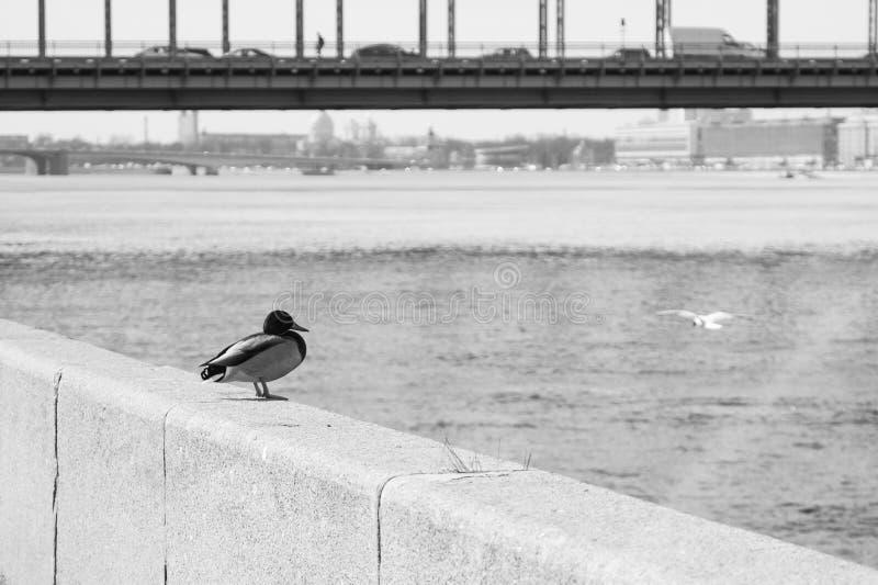 Pato que se sienta por el río imágenes de archivo libres de regalías