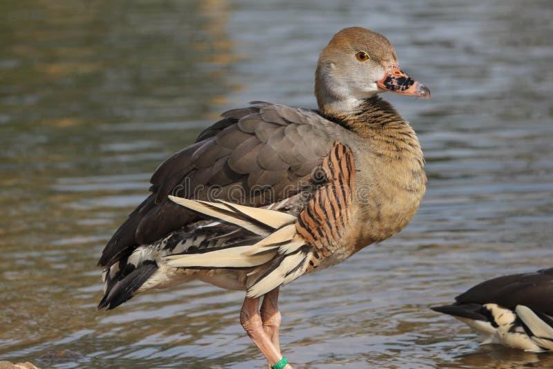 Pato que silba Plumed que se coloca en agua. foto de archivo libre de regalías