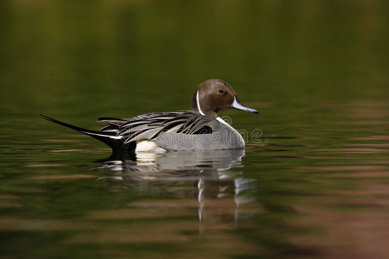 Pato rojizo septentrional, acuta de las anecdotarios imagen de archivo