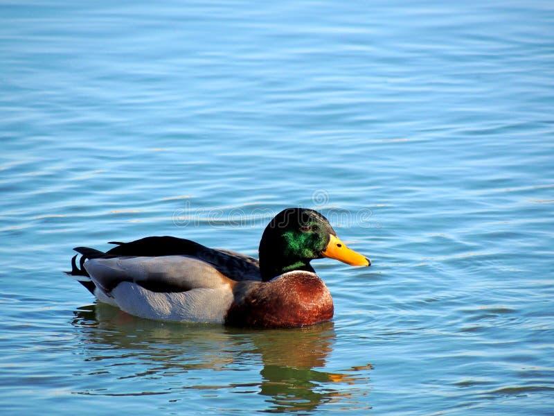 Pato salvaje foto de archivo libre de regalías