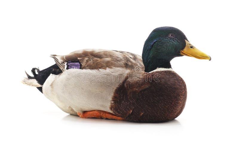 Pato salvaje del pato silvestre imagen de archivo