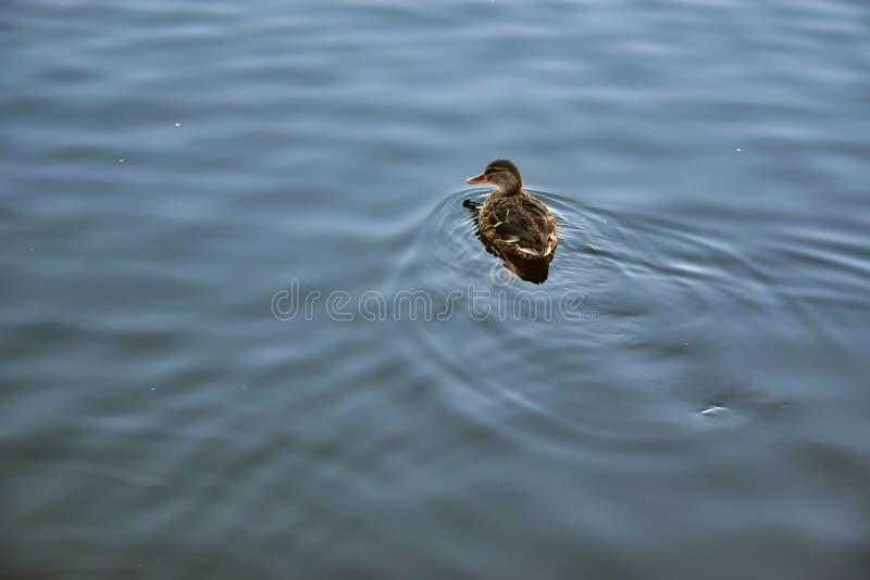 Pato salvaje en Vajgar en primavera fotografía de archivo