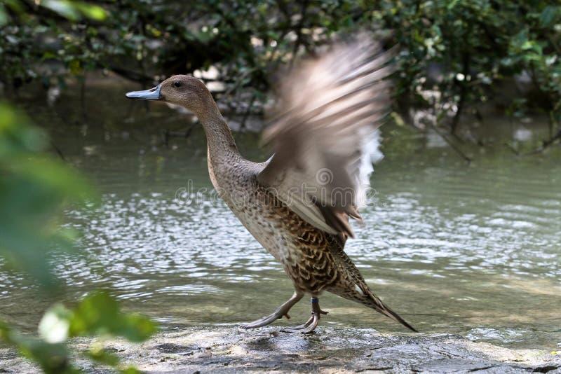 Pato salvaje o pato silvestre, platyrhynchos de las anecdotarios en el lago fotos de archivo