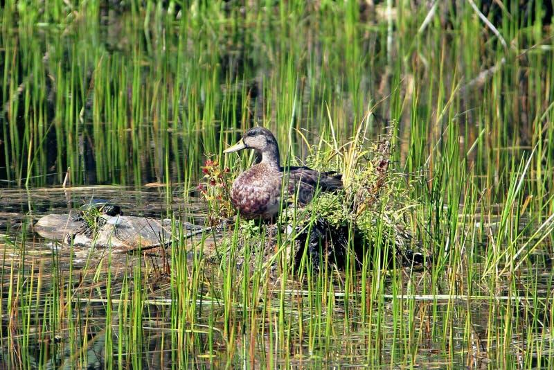 Pato salvaje que toma el sol en una charca con una tortuga del agua imagen de archivo libre de regalías