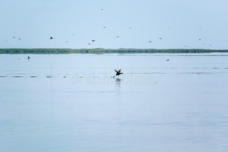 Pato salvaje sacar sobre el agua en los humedales fotos de archivo