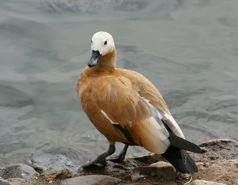 Pato selvagem fotografia de stock