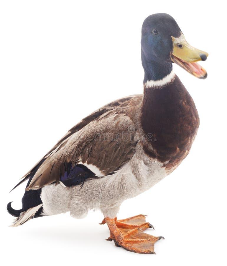 Pato selvagem fotografia de stock royalty free