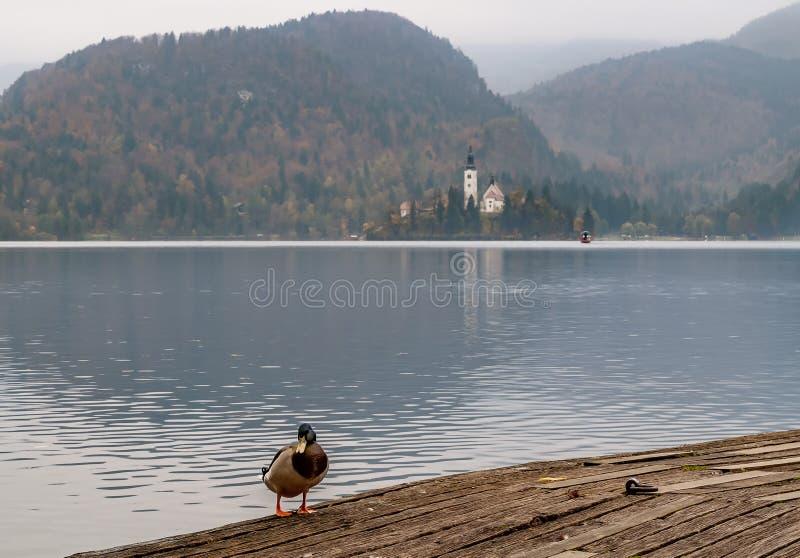 Pato selvagem bonito com o lago sangrado no fundo no outono, Eslovênia imagens de stock