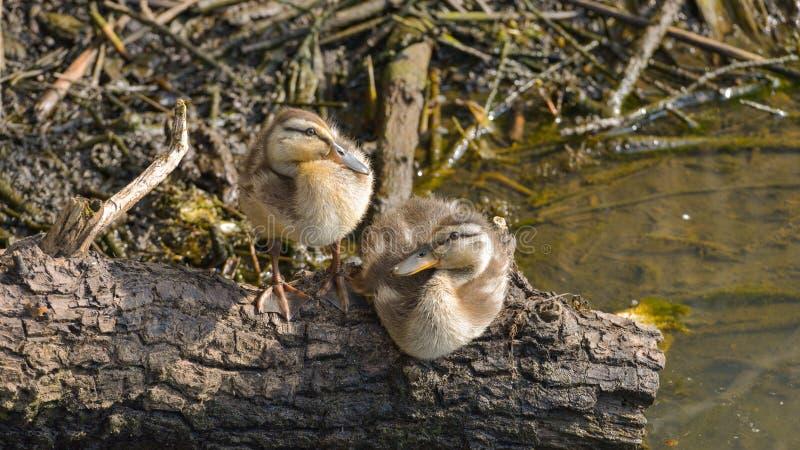 Pato selvagem dois novo que está descansando sobre um ramo imagem de stock royalty free