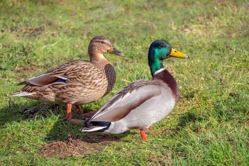 Pato selvagem Drake e pato - platyrhynchos dos Anas em repouso fotos de stock royalty free