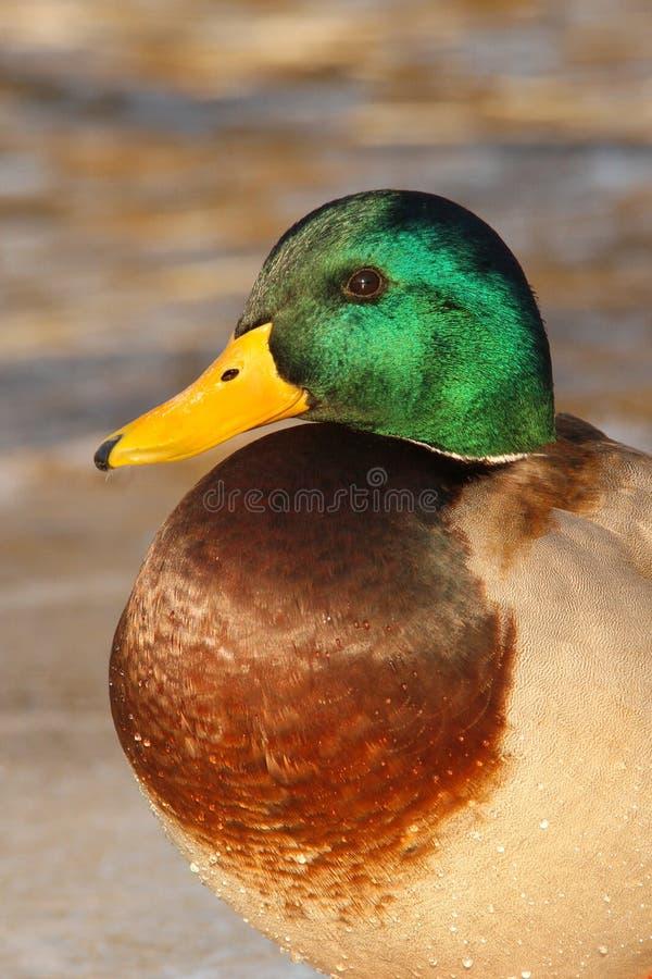 Pato selvagem Duck Drake imagem de stock royalty free