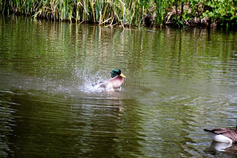 Pato selvagem Duck Drake fotografia de stock