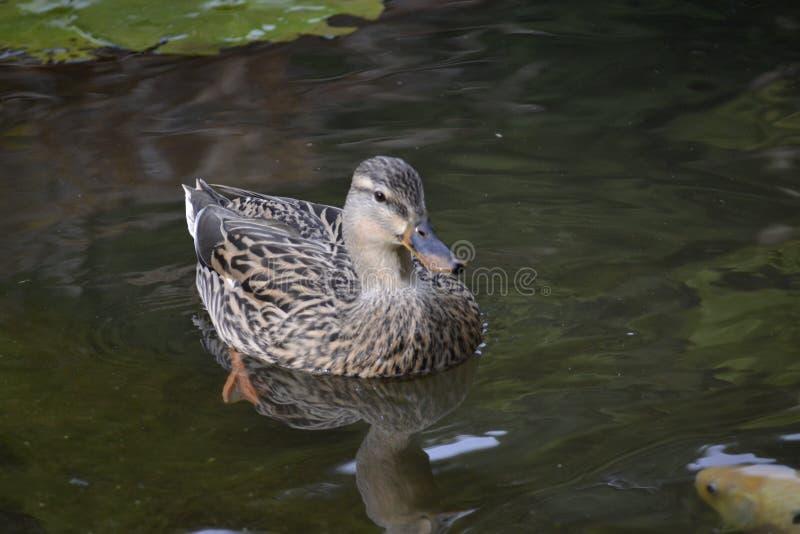 Pato selvagem Duck Pond fotos de stock