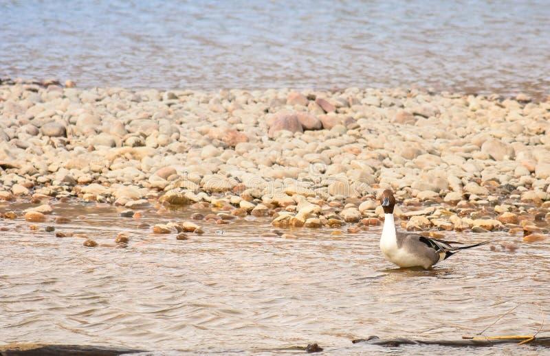 Pato selvagem Duck On Rocks foto de stock royalty free