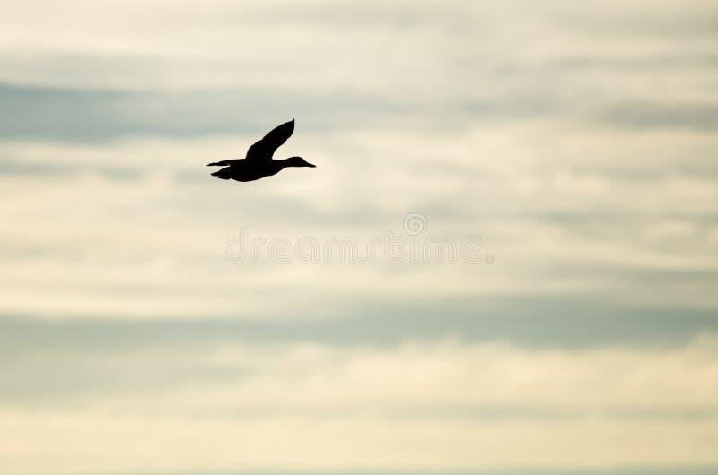 Pato selvagem Duck Silhouetted no céu do por do sol como voa imagens de stock