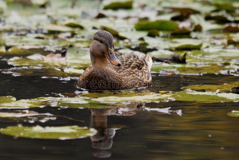 Pato selvagem fêmea imagens de stock royalty free
