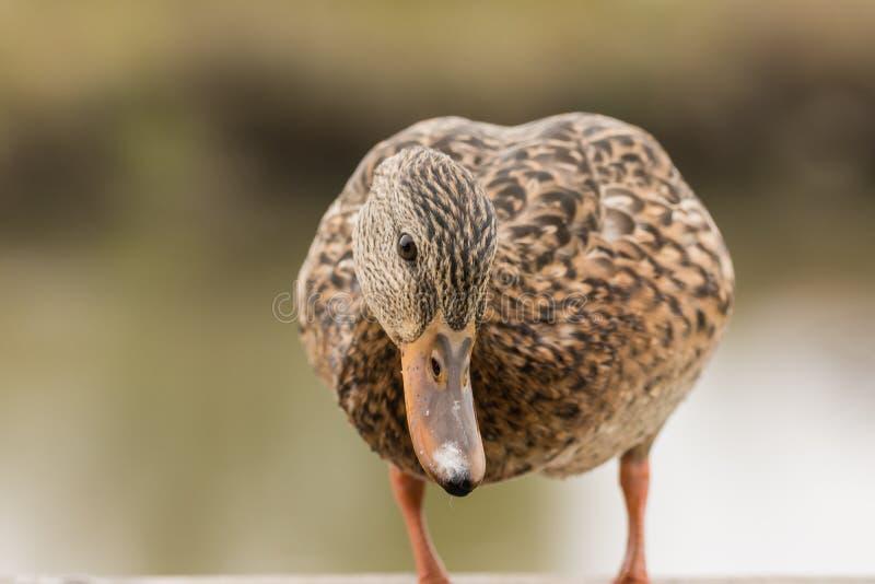 Pato selvagem fêmea curioso que tenta à espião o que está acontecendo fotos de stock royalty free
