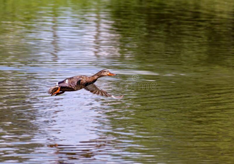 Pato selvagem fêmea Duck Flying Above Lagoon fotografia de stock