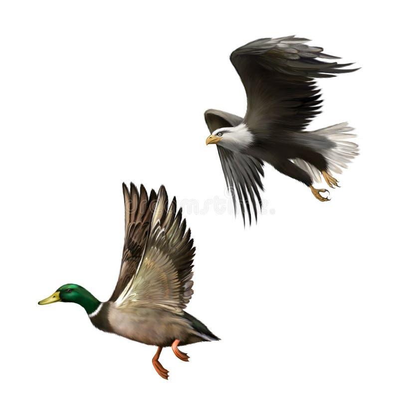 Pato selvagem masculino Duck Flying ilustração do americano ilustração stock
