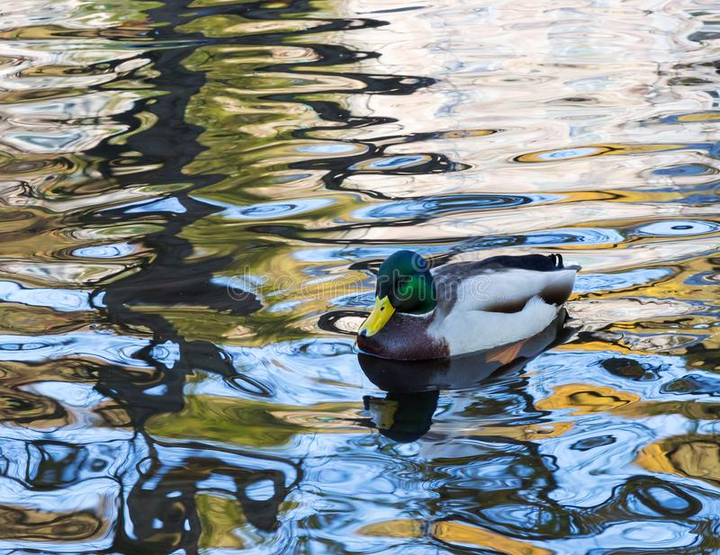 Pato selvagem masculino na água fotos de stock royalty free