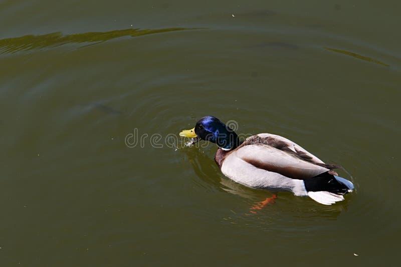 Pato selvagem masculino ou pato chapinhando, água potável dos platyrhynchos dos Anas do nome do latino da lagoa do jardim ao nada fotos de stock royalty free