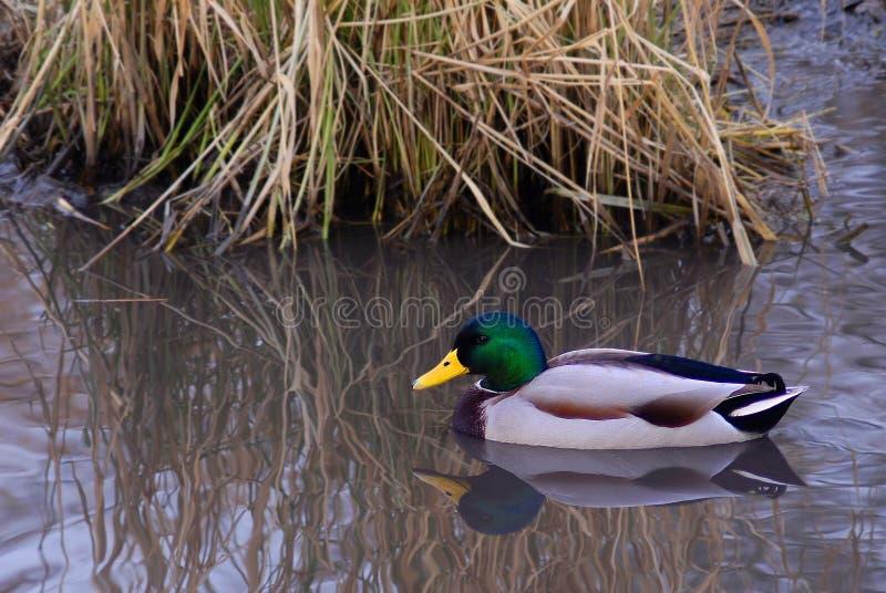 Pato selvagem masculino solitário Duck Swimming nos juncos foto de stock