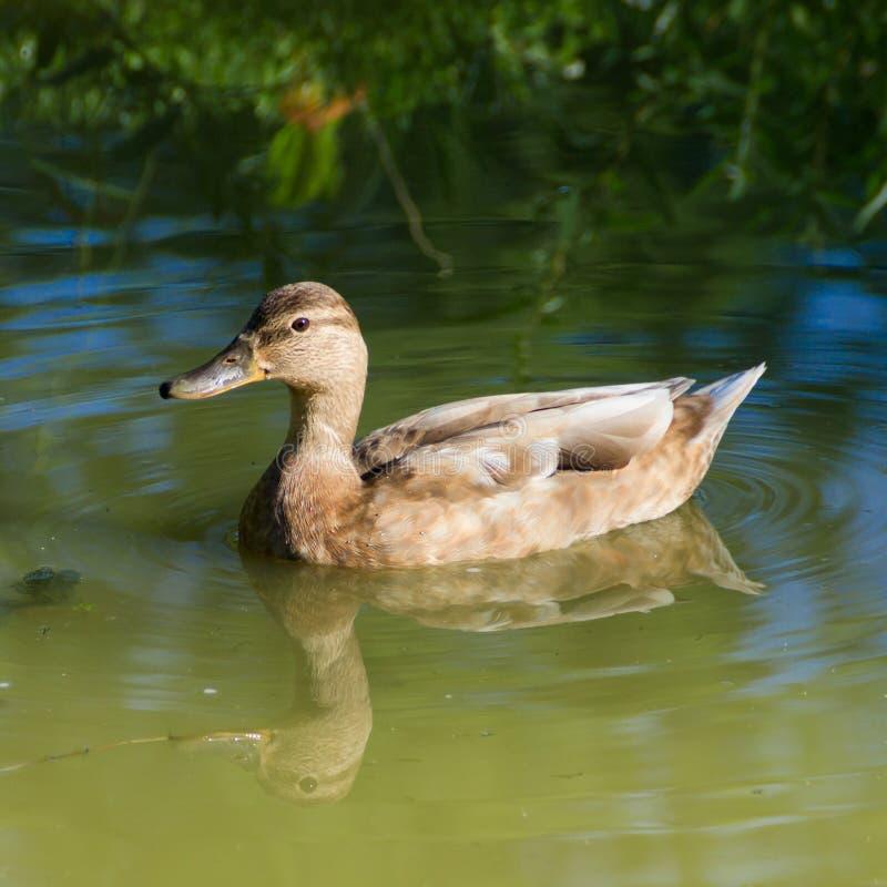 Pato selvagem na lagoa foto de stock