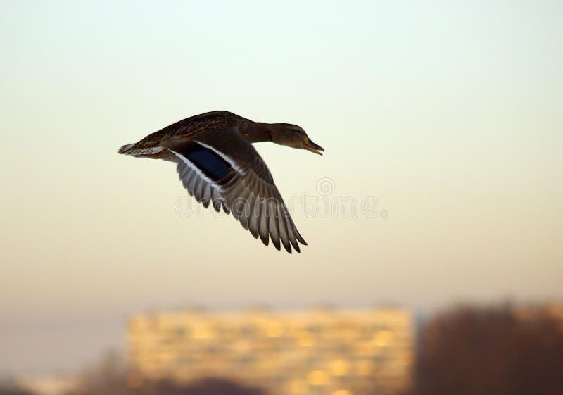 Pato selvagem no vôo imagem de stock royalty free