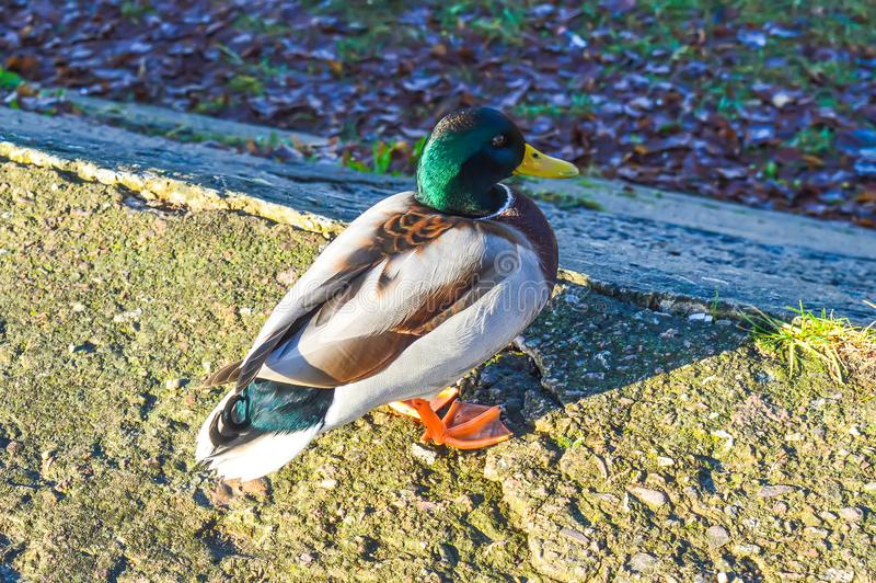 Pato selvagem Paisagem da mola em Europa do leste fotografia de stock