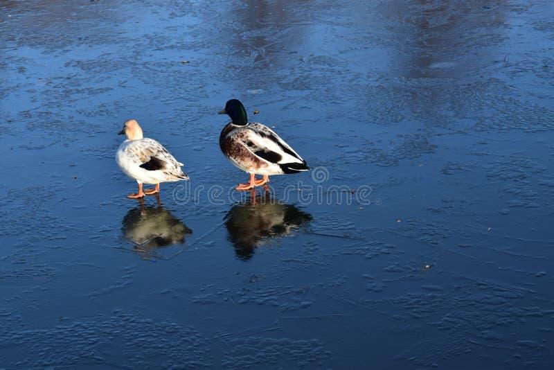 Pato selvagem que anda na água congelada no inverno foto de stock
