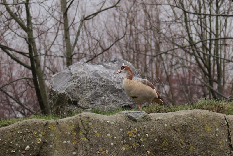 Pato selvagem que come na natureza imagens de stock