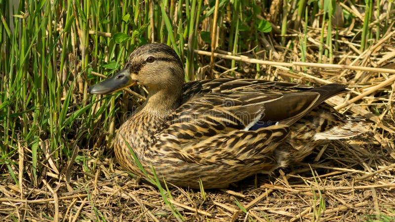 Pato selvagem que senta-se na grama observando a outro fotos de stock