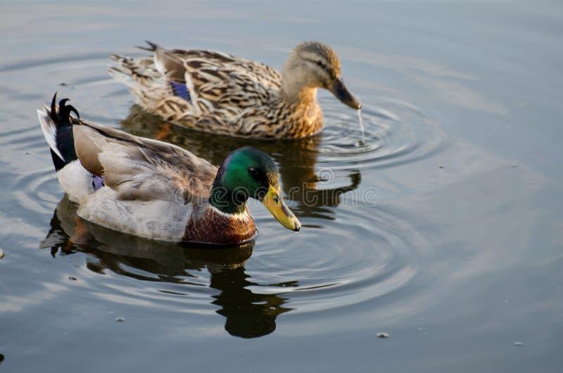 Pato silvestre Duck Drake y gallina imagenes de archivo