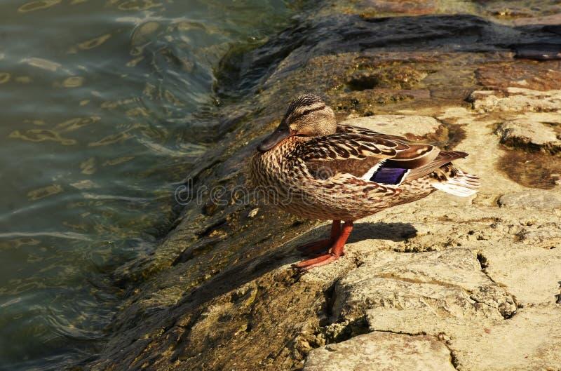 Pato silvestre en un muelle de Zemun fotos de archivo libres de regalías