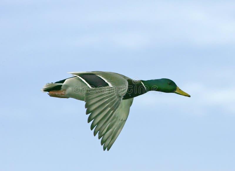 Pato silvestre en vuelo foto de archivo libre de regalías