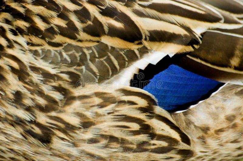 Pato silvestre femenino fotos de archivo libres de regalías