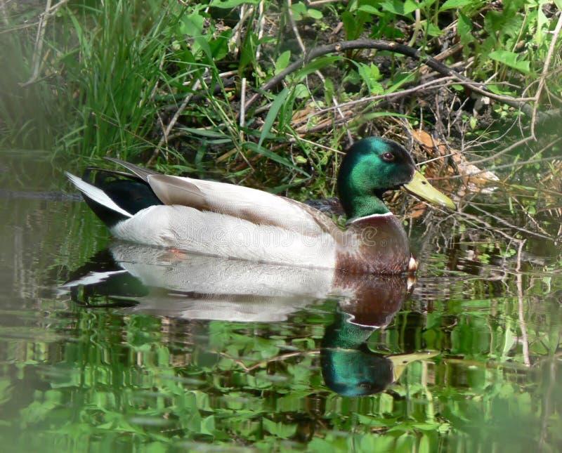 Pato silvestre flotante fotografía de archivo libre de regalías