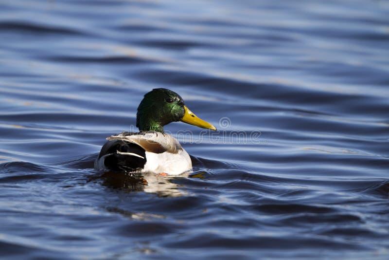 Pato silvestre, platyrhynchos de las anecdotarios fotografía de archivo