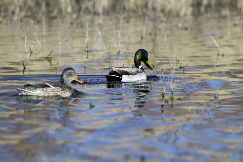 Pato silvestre, platyrhynchos de las anecdotarios imagenes de archivo