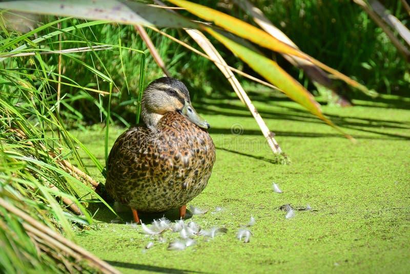 Pato silvestre que se atusa sus plumas en Travis Wetland Nature Heritage Park en Nueva Zelanda imagen de archivo