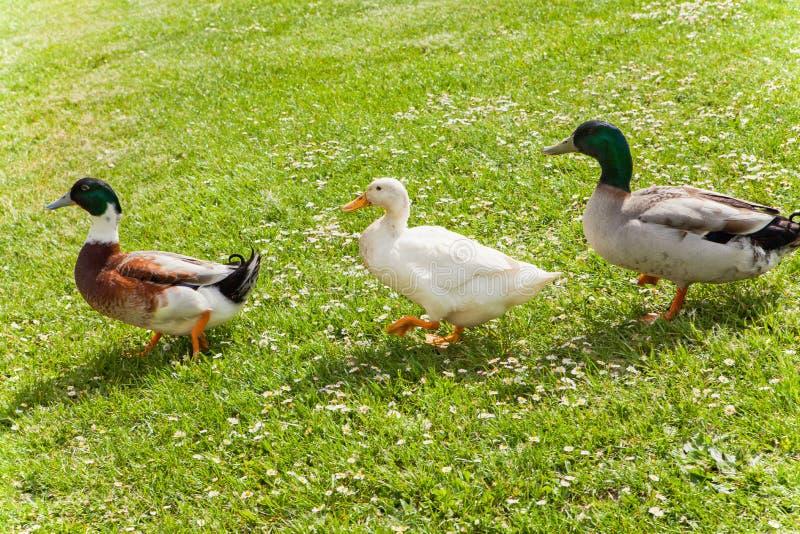 Pato y amigos imágenes de archivo libres de regalías