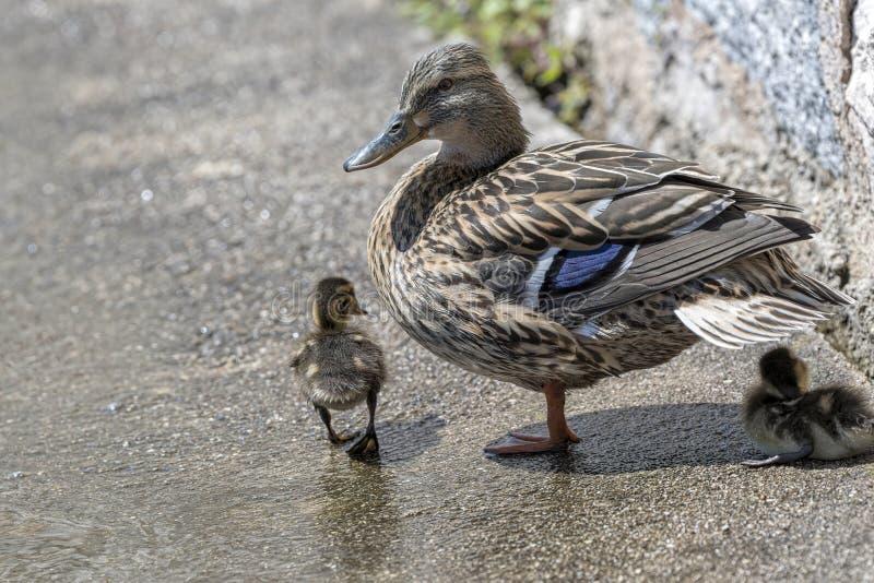 Pato y anad?n en el lago fotografía de archivo