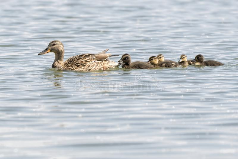 Pato y anad?n en el lago imagen de archivo