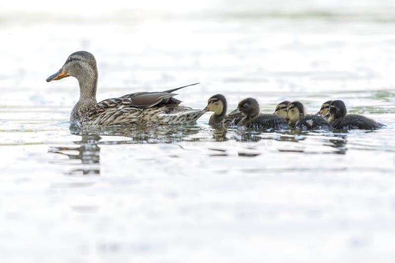 Pato y anad?n en el lago fotos de archivo