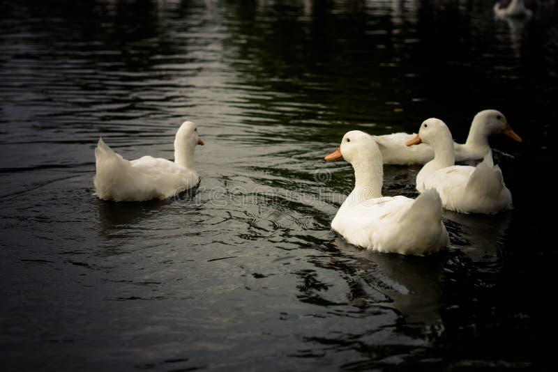 Patos imagem de stock