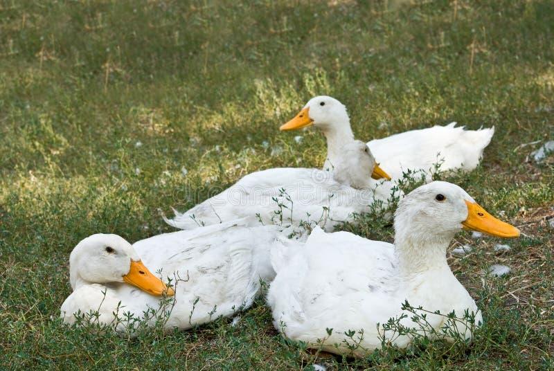 Patos blancos de reclinación imagenes de archivo