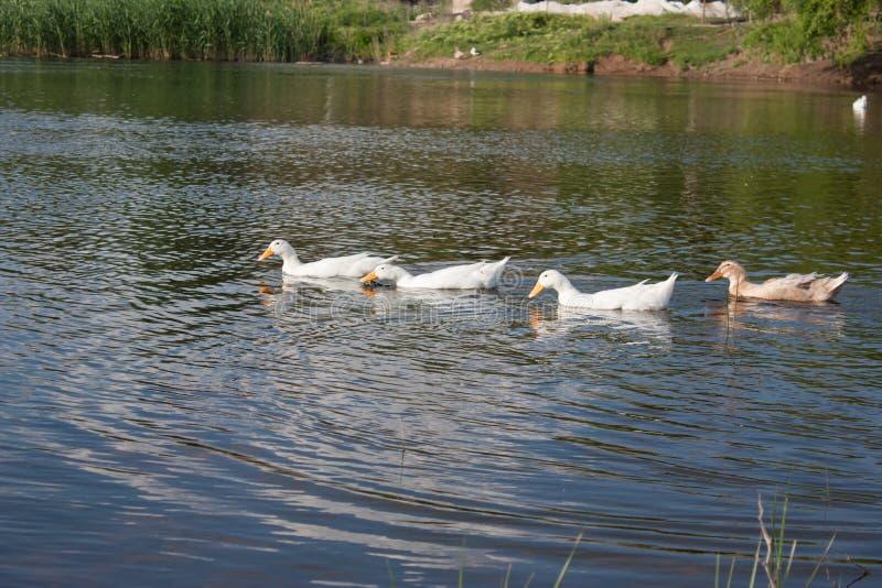 Patos blancos y abigarrados imagen de archivo libre de regalías