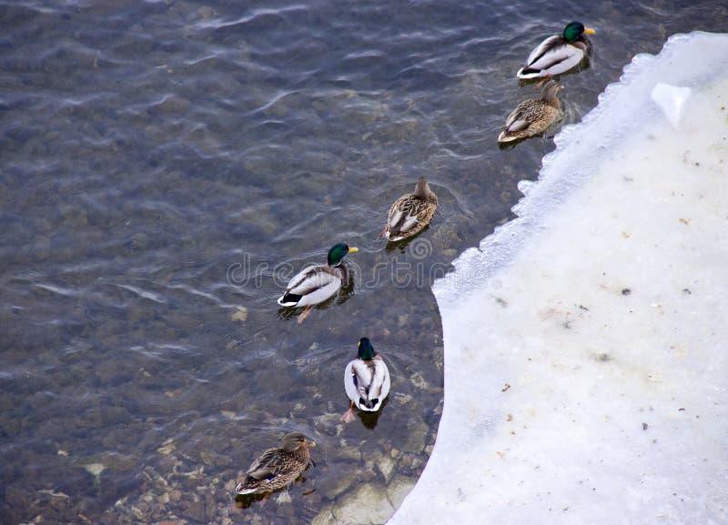 Patos da alimentação dos povos no rio fotografia de stock